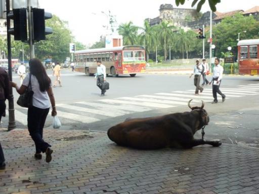 De 1e koe op straat, downtown Mumbai