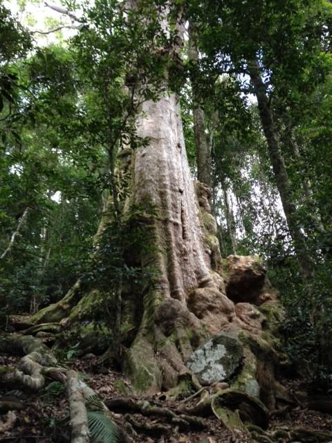 Ontzettend hoge bomen in het regenwoud