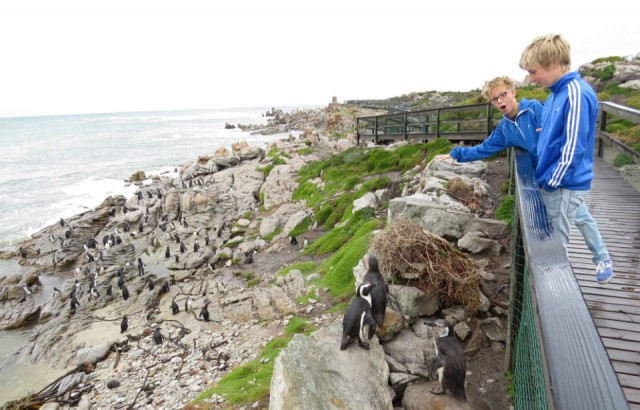 Pinguins in Betty\'s Bay | Foto | Onze droomreis Zuid-Afrika