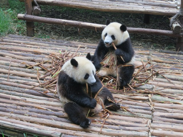 pandas beim bamboo essen foto remko leonie. Black Bedroom Furniture Sets. Home Design Ideas