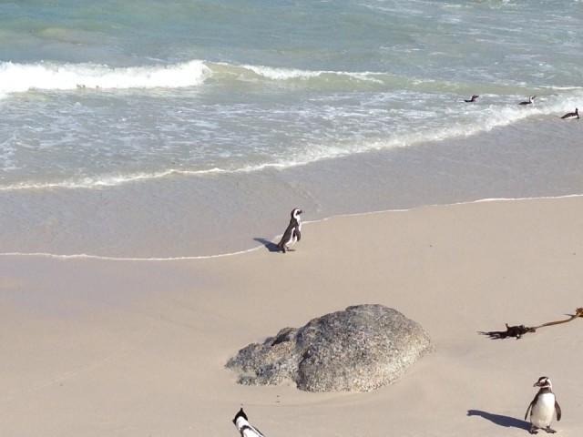 Pinguïns in Simon's Town